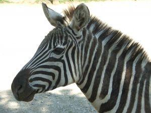 http://www.saycampuslife.com/images/zebra.jpg