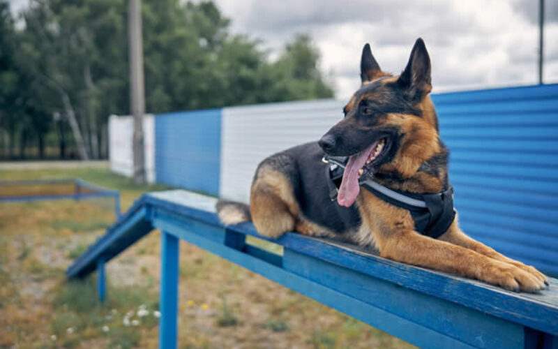 Online Dog Training Certification – How to Become a Certified Dog Trainer Online